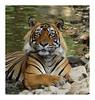 07 (sharadvats01) Tags: ranthambhore national park tiger safaris india wildlife safari