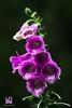 MISTERIOSA (Lace1952) Tags: fiore piantamedicinale digitale digitalispurpurea pioggia mistero sfocato bokeh panasonic lumix