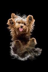 Gnasher Versus Gravity (Chris Willis 10) Tags: dogsunderneathwillsbumomargnasher yorkshire terrier puppy animal dog pets cute blackcolor studioshot blackbackground small mammal brown fluffy canine purebreddog younganimal oneanimal fur domesticanimals nopeople isolatedonblack