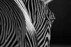 (LuposAter) Tags: zebra stripes streifen bw schwarz weiss tiere zoo animals sony alpha slt a58