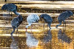 Albino Sandhill Crane (Manuel ROMARIS) Tags: newmexico national wildlife reserve bosquedelapache refuge sandhillcrane usa albino sanantonio unitedstates us