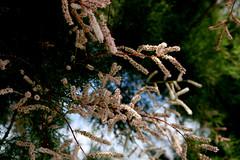 Salt cedar (Tamarix ramosissima) flowers, Porto Moniz, Madeira (davidvictor513) Tags: madeira portomoniz saltcedar saltcellar plante plant tamarixfamosissima arbusto pflanze tamariske tamarix tamaris tamarixdété pinkcascadesaltcedar