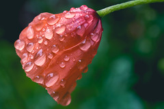 Just a Fool in the Rain (Majime-SPN) Tags: flower flowers rain flowersofflickr flowerphotography flowerviewing wildflower poppy raining raindrops drops wet nature natur naturephotography nikon nikondslr nikond5500 nikoncamera d5500 dslr spring springflowers springday japanesespring springshowers close closeupshot nikkor nikkor40mmmicro nikkorlens micro microlens ニコン ニコンカメラ ニコンdslr ニコンd5500 ニコンレンズ 40mm 花 春 雨 赤い 綺麗 red macro japab japanese kawasaki chitose takatsuku 日本 川崎 川崎市 千年 高津区 神奈川 神奈川県 kanagawa