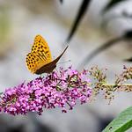 Butterfly bush (Buddleja) / Schmetterinlingsstrauch thumbnail