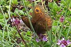 Erebia medusa Gd Comlombier -01- 2017 06 10 ii (Froggy Birder) Tags: papillon rhopalocères butterfly erebiamedusa ain