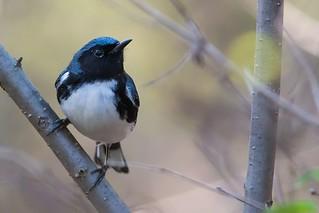 Paruline Bleue / Black-Throated Blue Wabler