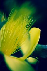 Corolla (Raggedjack1) Tags: evergreenshrub hypericaceae plant stigma hypericum pollen leaf sepals stamens filament yellow yellowflowers corolla