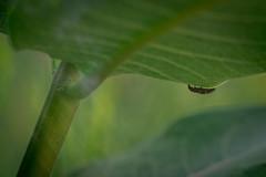 larval (severalsnakes) Tags: kansas pentax saraspaedy shawnee shawneemissionpark accuradiamatic13528 extensiontube k1 ladybug larvae m42 macro manual manualfocus screwmount