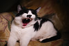 Darren (BurlapZack) Tags: pentaxk1 pentaxfalimited43mmf19 vscofilm pack01 yongnuoyn360 ledwand dallastx addisontx pixelshiftresolution cat kitty catto yawn meow whiskers light portrait scream bokeh dof couch home house goofin justagoof teeth fangs teefies distortion funhousemirror