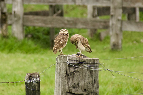 brazil-pantanal-caiman-lodge-burrowing-owls-copyright-thomas-power-pura-aventura