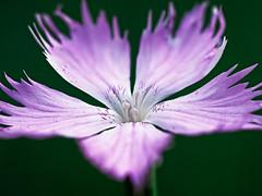 Carnation (Dianthus gallicus) (Jens Flachmann) Tags: nature flower blossom carnation pink closeup dianthus dianthusgallicus spring bloom blooming