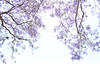 Jacarandas (hopedorman) Tags: nature outdoor nopostprocessing jacaranda jacarandas jacarandatree purple plant sky