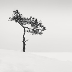 Veterans' Tree III (Vesa Pihanurmi) Tags: baltic lauttasaari landscape minimalism monochrome nature pine helsinki seafront sea tree winter snow white