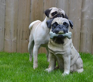 Still fascinated by the Pug statue