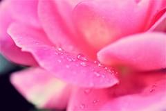 my rose... (martinap.1) Tags: rose blume flower nikon d3300 40mm macro nature pink