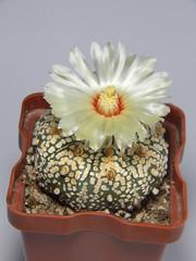 Astrophytum astereias cv. Superkabuto #1 (emilmorozoff) Tags: astrophytum astereias superkabuto