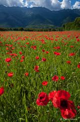 Chartreuse rouge ? (Pierrotg2g) Tags: poppies coquelicots fleurs flowers paysage landscape nature nikon d90 tokina 1228 dof pdc