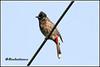 6940 - redvented bulbul (chandrasekaran a 44 lakhs views Thanks to all) Tags: redventedbulbul bulbul birds nature india chennai canon eos400d