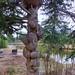 Burls on Black Spruce Tree