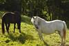 Black and White (Kilmar2010) Tags: villaviciosa asturias naturaleza caballos horses pferden