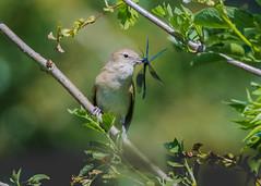 Garden Warbler ( Sylvia borin ) Male (Dale Ayres) Tags: garden warbler sylvia borin male bird nature