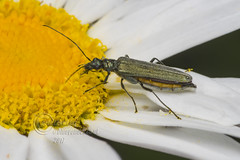 _IMG6202 Swollen-thighed Beetle - Oedemera nobilis  (female) (Pete.L .Hawkins Photography) Tags: wollenthighed beetle oedemera nobilis petehawkins petelhawkinsphotography petelhawkins petehawkinsphotography pentax 100mm macro pentaxpictures fantasticnature fabulousnature incrediblenature naturephoto wildlifephoto wildlifephotographer naturesfinest unusualcreature naturewatcher insect invertebrate bug 6legs compound eyes creepy crawly uglybug bugeyes fly wings eye veins flyingbug flying shell elytra ground