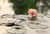 Water Lily (mclcbooks) Tags: flower flowers floral waterlily waterlilies lilypads water pond reflections denverbotanicgardens colorado spring