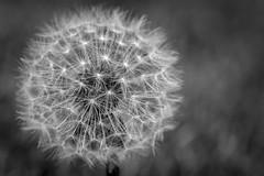 Dandelion Black / White (ismcgregor68) Tags: plant dandelion black white bw monochrome
