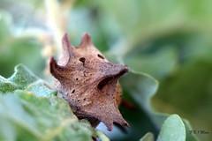 Oak apple (noix de galle du chêne) {-explore 29/05/17-} (kingrapace) Tags: macromondays pareidolia