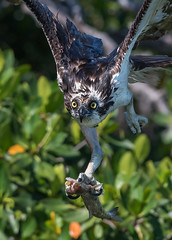 Sushi Delivery (PeterBrannon) Tags: bird birdofprey fish florida nature osprey ospreycatchingfish pandionhaliaetus raptor wildlife takeoff