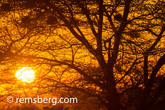 The sun setting behind the acacia trees in the Namib desert, located in Namibia, Africa. (Remsberg Photos) Tags: africa namibia world namib desert acacia tree trees branches vachelliatortilis silhouette shadows light contrast sun settingsun sunset heat sky solitaire nam
