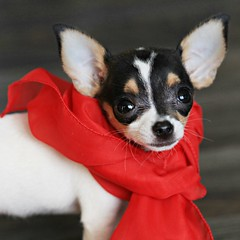 The Lady in Red (Cindy's Here) Tags: theladyinred red peanut dog chihuahua canon macro studio26red 210365 explore