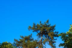 (Jelena1) Tags: tree trees drvo drvece arbre árbol baum träd nature naturaleza natur priroda pine conifer bor crnibor pinus pinusnigra blackpine schwarzkiefer pinosalgareño pinaceae pinnoir сосна́чёрная svarttall sky nebo ciel cielo himmel serbia srbija canon canon600d canoneos600d canonefs1855mmf3556is