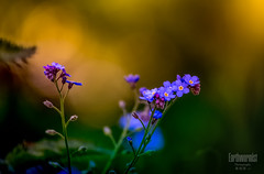 forget -me-not (G.LAI) Tags: purple pink beauty 勿忘我 5d canon nature spring macro red ed explore 海棠 春海棠 红色 color painting classicaldigital art photo images poem poet poetic romance flickr plant