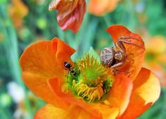 """Ant in Danger"" (Explored May 2017) (seanwalsh4) Tags: 7dwf crazytusedaytheme blackant danger peril closeup seanwalsh bristol fauna insect commoncrabspider beefriendlyflowers garden nature bokeh canoncamera"