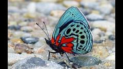 VIDEO of Asterope leprieuri optima 1920x1080 HD (Andrew Neild, UK) Tags: ecuador asterope leprieuri optima butterflyphotography butterflytour butterflywatching borboletas mariposas papillons schmetterlinge farfalle 蝶 蝴蝶 бабочки तितलियों