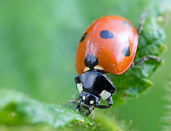 daring feed (Simple_Sight) Tags: bug garden outdoors closeup macro ladybug ladybird points red green plant animal insect spring summer nature ngc npc