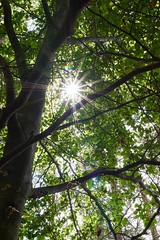 Sunbeams (grundi1) Tags: sony alpha 68 a86 ilca 1770 f2845 dc baum sonne tree sun sunbeams sonnenstrahlen laub leaf sigma1770f2845dcmarco sigma vanagram nature