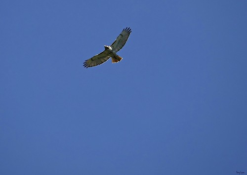 """Red Tail • <a style=""""font-size:0.8em;"""" href=""""http://www.flickr.com/photos/52364684@N03/34892057016/"""" target=""""_blank"""">View on Flickr</a>"""