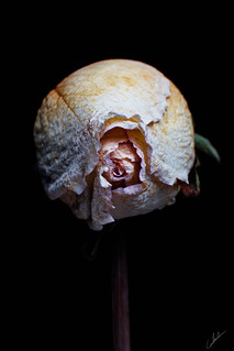 Boton de Rosa Marchita
