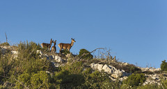 Red deers family of Parnitha (jean valjean.) Tags: animal deer nature outdoors athens parnitha natura2000 mountain sky mammal