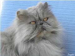 Tichat, une crème de chat - Tichat, a cat love (Jogabi - Michèle) Tags: kittysuperstar coth5 saariysqualitypictures