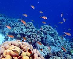 Scad Reef - Bonaire 2017 (mastrfshrmn) Tags: scad reef fish bonaire diving dive strobe camera photo photos seaseays01 olympus tg3 tg4 pt056housing underwater sea life ocean caribbean buddydive buddysreef 1000steps barireef invisibles turtle eagleray ray coral eel scuba scubadiving may 2017 tropical beach sun olympustg3 olympustg4