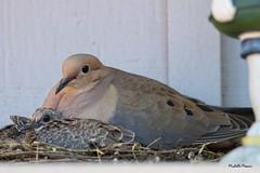 Mourning dove nest (lamoustique) Tags: mourningdove zenaidamacroura tourterelletriste salmoncreek vancouver washington americanmourningdove