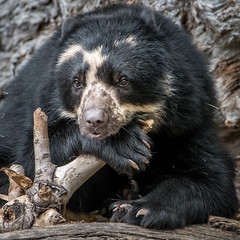 Resting So I Can Play More [In Explore 6/4/17] (helenehoffman) Tags: spectacledbear bear alba conservationstatusvulnerable mammal sandiegozoo ursidae southamerica carnivore andeanbear tremarctosornatus animal ngc