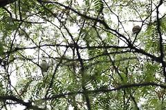 Yellow-billed and Black-billed Cuckoo (coccyzus americanus and erythropthalmus) (mrm27) Tags: usa centralpark newyork newyorkcity coccyzus coccyzusamericanus coccyzuserythropthalmus cuckoo yellowbilledcuckoo blackbilledcuckoo