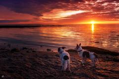 Dogs at dawn... (Kerriemeister) Tags: maxandpaddy jackrussellterrier dog dogs brothers nikon morning early dawn sunrise beach rocks sea clouds cloud sky coast coastal seaweed beadnell northumberland sand