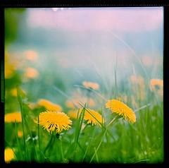 Flower Power #9 (Moryc Welt) Tags: fuji provia fujichrome iscanforlinux gimp pentaconsix biometar80 tetenalsp45 homemadesoup diy asa100 flowers