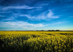 Spring in Sweden where the fields are yellow and the sky is blue