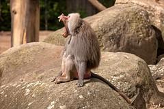 Sing Monkey (Lebemitgott) Tags: kreative fotografie photoshop fotograf 500px rock monkey animal funny zoo wildlife outdoors обезьяна wild primate песня müde affe gesang пение gähnem